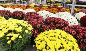 chaque annee des chrysanthemes sont deposes sur les tombes a l occasion de la toussaint photo thierry nicolas 1573835736